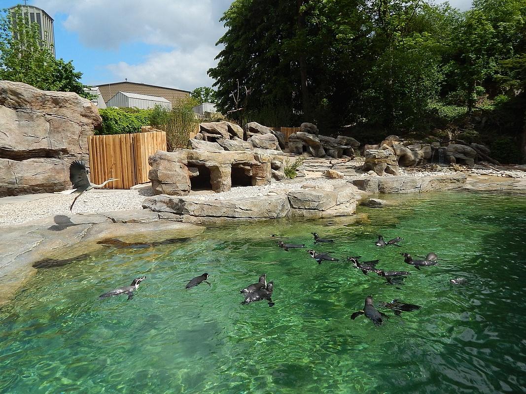 neue pinguinanlage im zoo frankfurt ist fertig. Black Bedroom Furniture Sets. Home Design Ideas