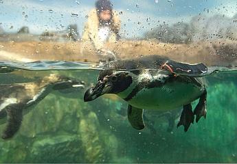 Freude im Zoo Frankfurt - Die Humboldt-Pinguine sind da!