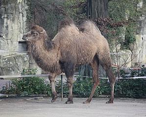 Willkommen ARYA – Neues Kamel im Frankfurter Zoo eingezogen