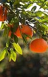 Citrus, eine sagenhaft spannende Gattung