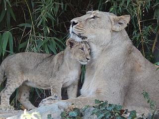 Zoo Frankfurt trauert um Löwin Mira