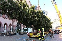 Weihnachtsbaum 'Peter II.' auf dem Frankfurter Römer angekommen