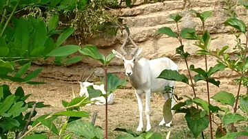 Prächtige Hornträger im Zoo