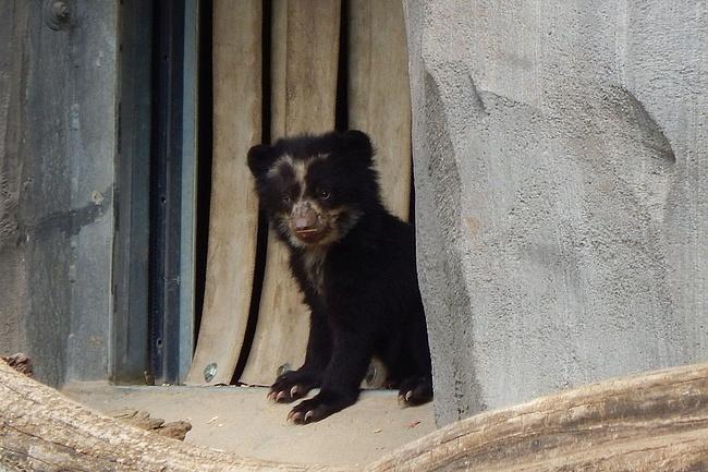 Nachwuchs bei den Brillenbären erkundet das Ukumari-Land im Zoo