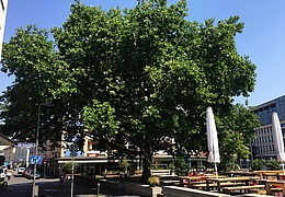 Sommer unterm Ahornbaum