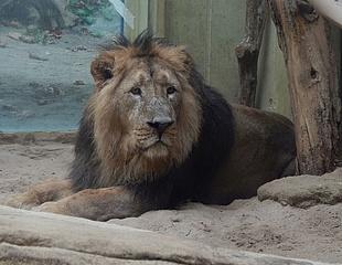 Willkommen KUMAR – Der Frankfurter Zoo begrüßt einen neuen Löwen