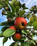 Verführung im Herbst: das Apfelparadies auf dem Lohrberg erkunden