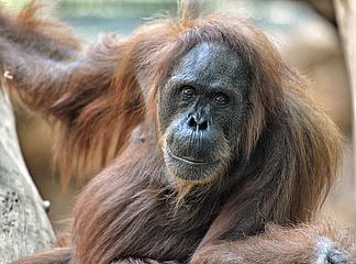 Abschied von Orang-Utan Djambi im Zoo Frankfurt