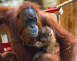 Der Frankfurter Zoo freut sich über Nachwuchs bei den Orang-Utans