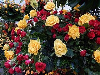 Rosenausstellung im Palmengarten ist eröffnet