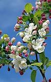 Nauroder Äppelblütefest