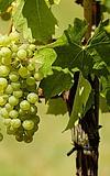 Schiersteiner Weinfest
