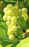 Wickerer Weinfest