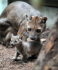 Great joy at Frankfurt Zoo: After almost 20 years, fossas have a new offspring