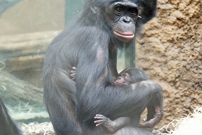 Frankfurt Zoo is happy about offspring of gibbons and bonobos