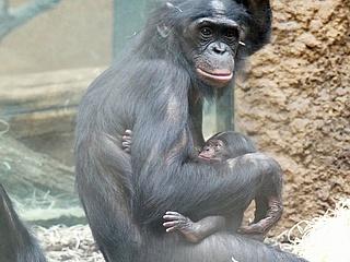 Frankfurter Zoo freut sich über Nachwuchs bei Gibbons und Bonobos