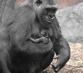 Nachwuchs bei den Westlichen Flachlandgorillas