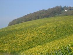Jahrgang 2012 – Gesunde und reife Trauben garantieren beste Qualitäten VDP: Weingut Zilliken